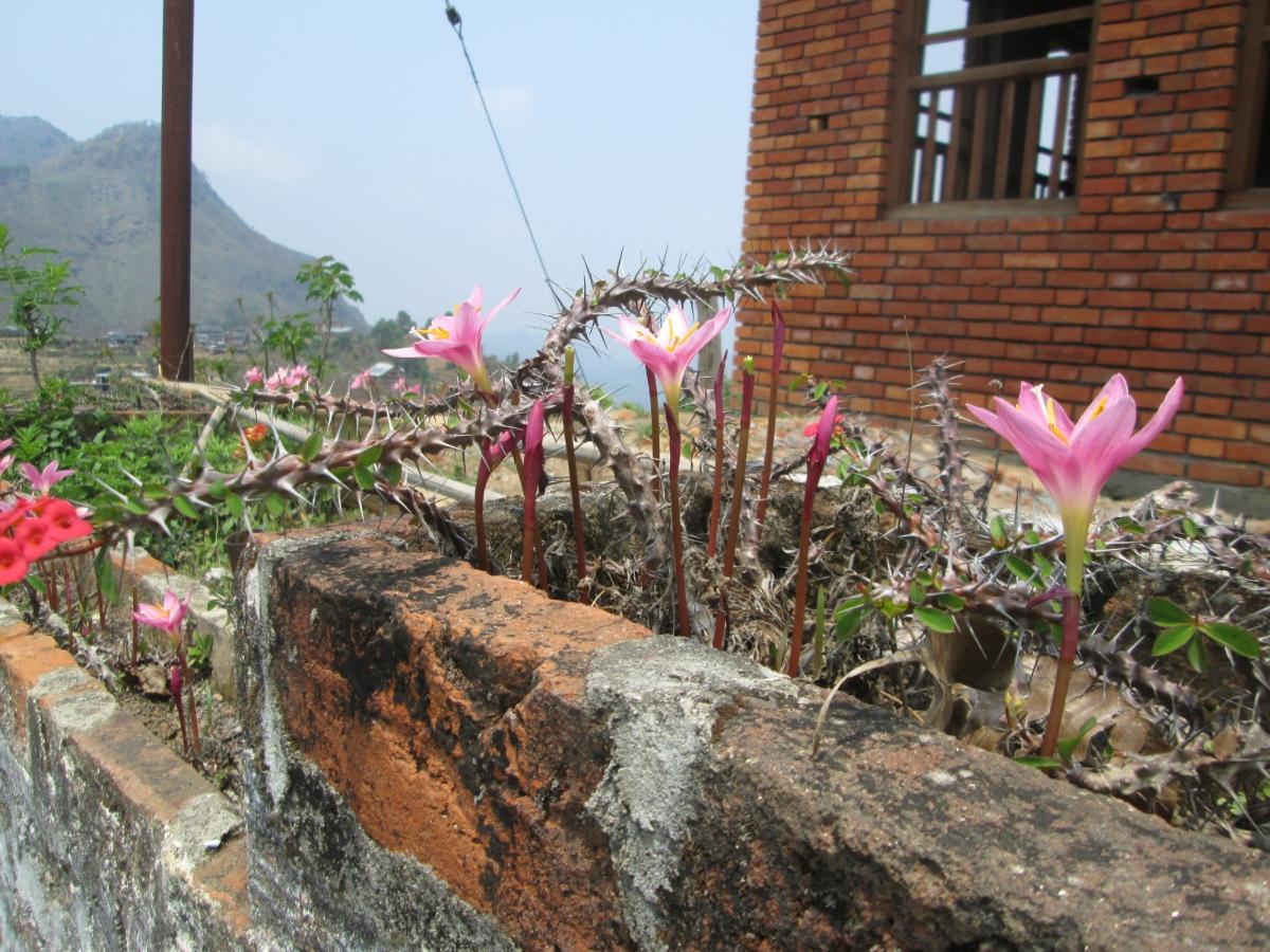 krokusse-und-christusdorn-in-bandipur-nepal